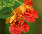 Jewelweed, Impatiens capensis, 25 seeds, poison ivy cure, woodsy wildflower, cool zones, moist shade, hummingbirds,  plant in fall