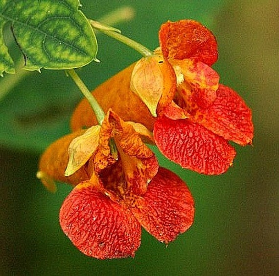 Jewelweed Impatiens Capensis 25 Seeds Poison Ivy Cure
