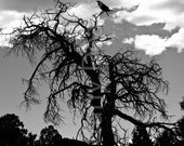 Gothic silhouette of a crow perched atop a creepy tree at the Grand Canyon - 8x10 black & white Matte print