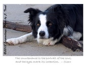 Intense Border Collie - photo greeting card