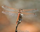 Dragonfly Photography, nature wall art, orange striped dragon fly photo, color photographic print, rustic home decor, Stillness