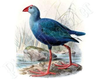 Instant Download BLUE bird Digital Download GALLINULE Large Digital Image, natural history clipart illustration 117