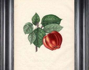 FRUIT PRINT Bivort 8X10 Botanical Art Print 11 Antique Beautiful Red Apple Tree Branch Leaves Home Garden Decor