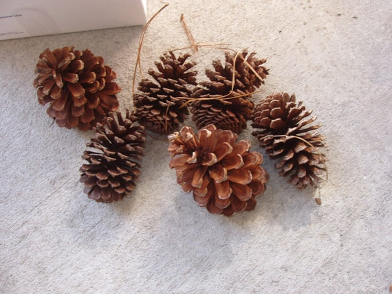 Sale large florida natural pine cones 15 long needle for Long pine cones