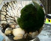 Marimo XL terrarium with genuine sea fan, best seller, Marimo moss ball terrarium