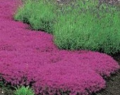 BULK 500 Seeds, Creeping Thyme, Walk on Me, Perennial Flower, Lemon Scent