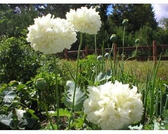 Poppy White Cloud, Rare, Flower, Start a Moon Garden, Reseeds Itself, 25 Seeds