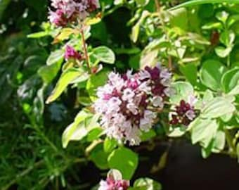 Oregano Flowering Cooking Herb, Garden, 25 Seeds