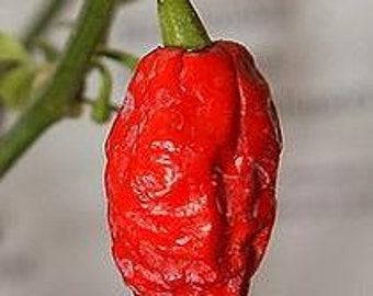 Bhut Jolokia, Ghost Chili Pepper, Hot Peppers, 5 Seeds