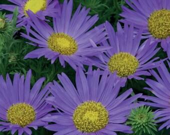 Aster Seeds Prairie, Purple Daisy Like Flowers, 25 Seeds