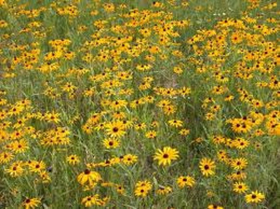 how to get black eyed susan seeds
