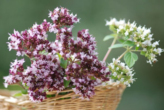 Sweet Marjoram Cooking Herb, 25 Seeds, Perennial,