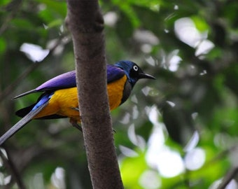 Colorful Bird on Branch Photo, Purple, green, and gold, fine photography prints, Fleeting Vigil