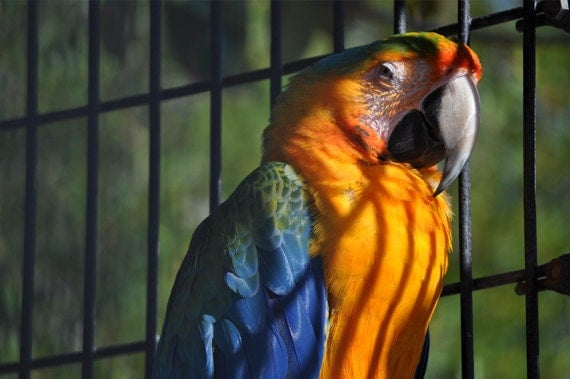 Macaw Parrot Photo, Blue and gold, 8 x 10 fine photography print, Locked Away