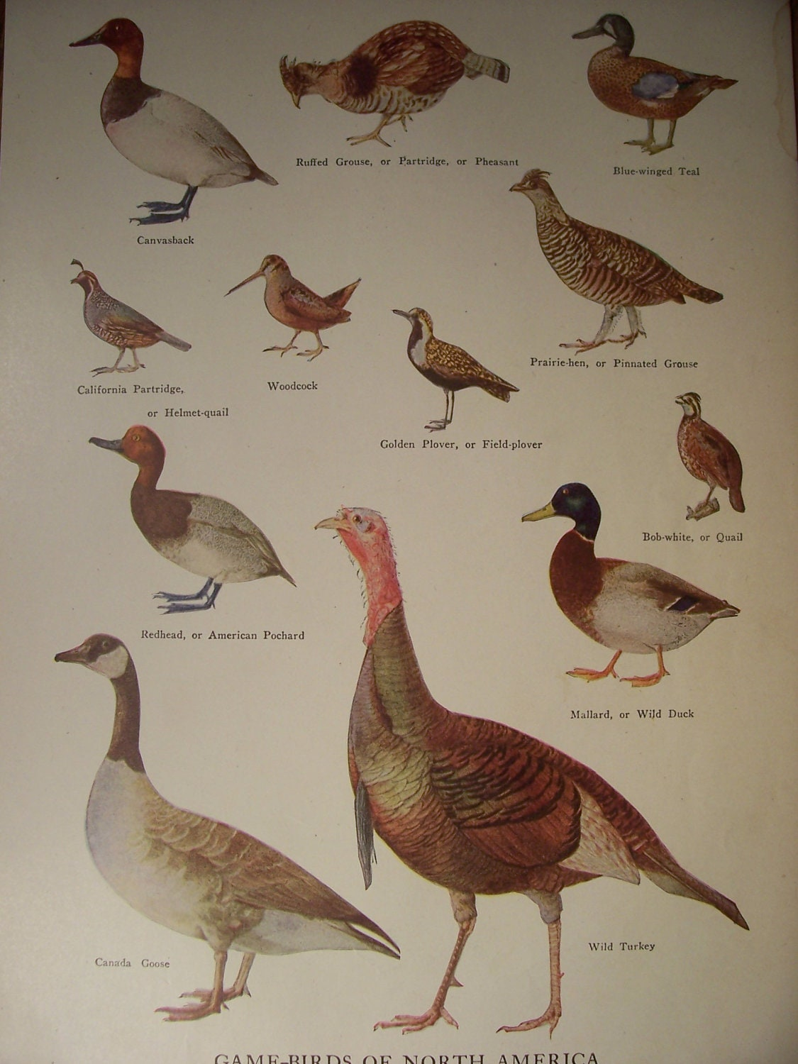 GAMEBIRDS Of North America \/ 1946 Vintage by