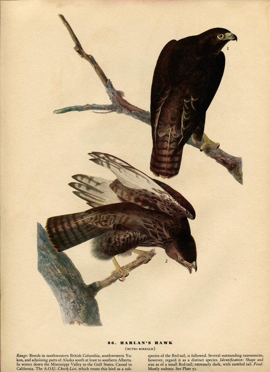 AUDUBON Birds of America