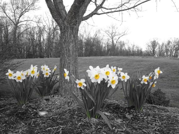 Spring Daffodil Tree 8X10 photo, Daffodil Print, Botanical Art Print, Floral Wall Art, Cottage Chic Decor, Farmhouse Chic Decor