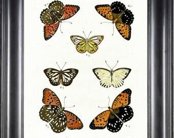 BUTTERFLY PRINT CRAMER  Botanical Art Print 4 Beautiful Antique Amasene Butterflies Yellow Orange White Black to Frame