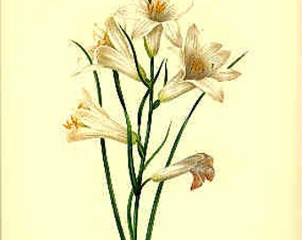 Redoute Botanical Print -  - Phalangium - 99