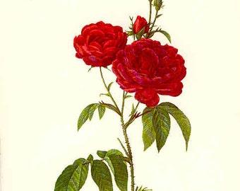 Redoute Botanical Rose Print  7
