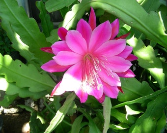 One Pc Pink ORCHID CACTUS Epiphyllum Cutting, P1294