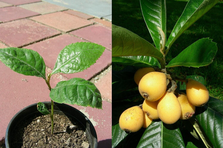 Japanese plum loquat fruit tree starter seedling plant p7589 for Fruit trees