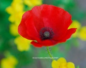 CALIFORNIA RED POPPY- Nature Art, California Flowers,  Colorful Wall Art, Red Art - ONEMAGICALMOMENT
