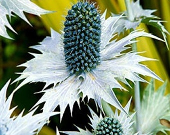 30+ Eryngium Silver Ghost SEA HOLLY Flower seeds /Long Lasting Perennial