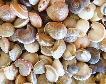 Natural Umbonium Seashells (appx. 230 pcs.) - Button Top Shells