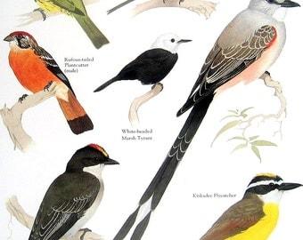 Birds Print - Sharpbill, Eastern Phoebe, Kiskadee Flycatcher, Eastern Kingbird - 1984 Vintage Birds Book Page