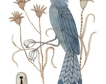Bluebird Print, bird specimen, bird art, giclee print, watercolor, illustration