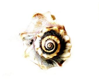 Indigo Spiral Seashell Print Shabby Chic Beach Cottage Blue Sea Shell