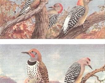 Vintage Bird Print, Book Plate, Woodpecker, Gilded Flicker, Gila Woodpecker, Allan Brooks, Antique Bird Illustration, 1930s