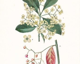 1919 Botany Print - Euonymus Patens - Spindle Tree - Vintage Antique Flower Art Illustration Book Plate for Framing