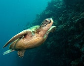 Sea Turtle Decor Underwater Photography print of Sea Turtle Swimming Underwater Nautical Decor 8x12 Print