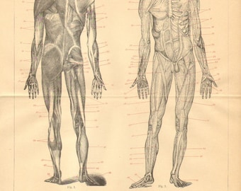 1894 Muscles of the Human Body, Anterior and Back View Original Antique Engraving