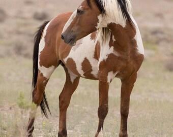 Picasso Turns - Fine Art Wild Horse Photograph - Wild Horse - Picasso