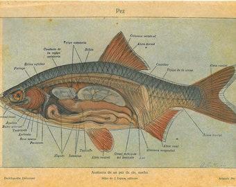 1923 Fresh Water Fish Vintage Print Fish Anatomy Illustration