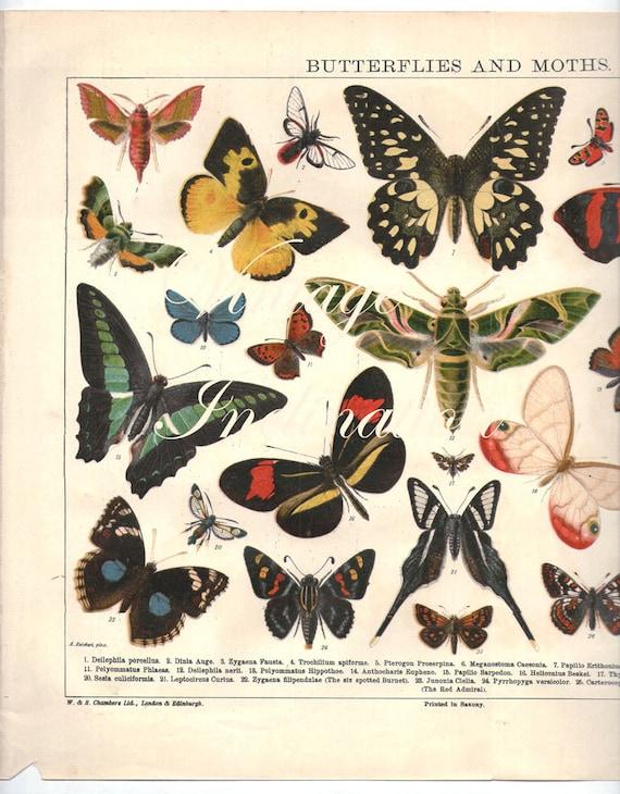 Vintage Print 1922 LARGE Antique BUTTERFLIES CHART Vintage 27  Vintage Butterfly Chart