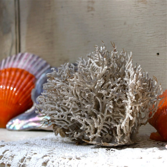 Vintage sea fan coral , white coral from Peru shores