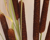 Reserved for Cyndy K - Dried Cattails x3 Jumbo Size rare natural preserved large cat tails for autumn fall flower decorating arrangements