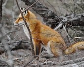 Red Fox photograph, orange and brown wall art, Animal Photography
