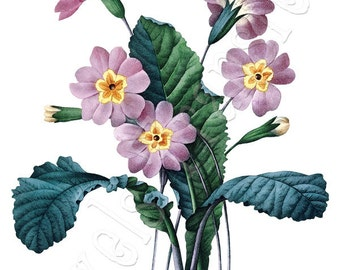 PRIMULA Instant Download Digital Images Flowers Large Digital Image, digital download Redoute 110