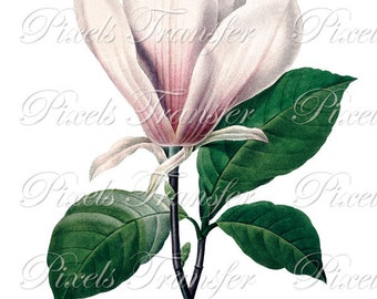 MAGNOLIA Instant Download, vintage flower illustration digital downloads REDOUTE 015