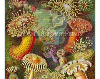 Sea Anemone Poster, Sea Anemone Art Print, Ernst Haeckel Scientific Illustration, Home Decor, Nautical Art, Anemone Drawing, Wall Art