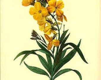 Redoute Botanical Print -  - Cheiranthus - 47