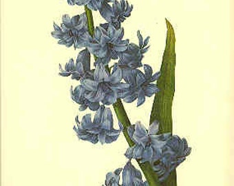 Redoute Botanical Print -  - Hyacinthus - 66