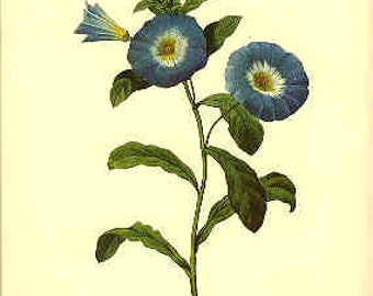 Redoute Botanical Print -  - Morning Glory - 74