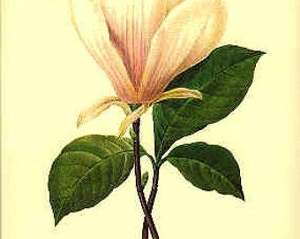 Redoute Botanical Print -  - Magnolia - 77