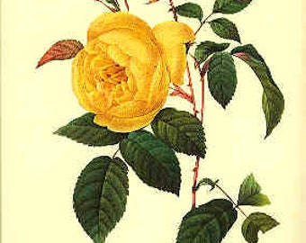 Redoute Botanical Print -  - Rosa Indica - 122